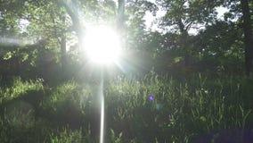 Лес дальше против захода солнца Красивая природа леса на заходе солнца Лучи солнца делают их путь через деревья акции видеоматериалы