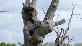 Лес дриад дуба старый окаменелый наслаждаясь днем празднуя 2000 лет 16 стоковые изображения rf