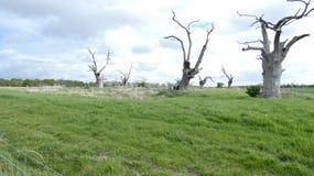 Лес дриад дуба старый окаменелый наслаждаясь днем празднуя 2000 лет 15 стоковое изображение rf