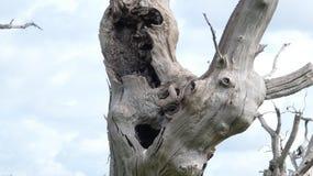 Лес дриад дуба старый окаменелый наслаждаясь днем празднуя 2000 лет 13 стоковое изображение rf
