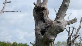 Лес дриад дуба старый окаменелый наслаждаясь днем празднуя 2000 лет 4 стоковые изображения