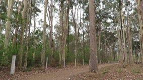 Лес евкалипта в Buenopolis акции видеоматериалы