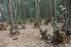 Лес евкалипта в Эфиопии Стоковая Фотография RF