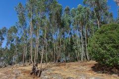Лес евкалипта в Эфиопии Стоковые Изображения