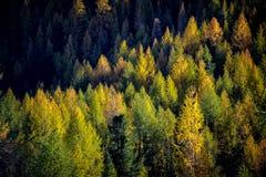 Лес елей в осени Стоковое Изображение