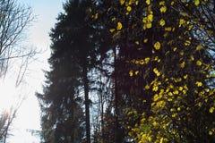 лес ели осени в ноябре стоковая фотография rf