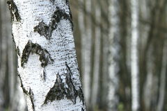 Лес дерева березы, естественная предпосылка, birchwood Стоковое Изображение RF