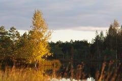 Лес дерева березы Стоковые Фото