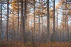 Лес дерева лиственницы в осени Стоковые Фото
