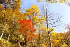 Лес дерева клена в сезоне осени Стоковое Фото