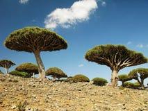 Лес дерева дракона, остров Сокотры, Йемен стоковые фотографии rf