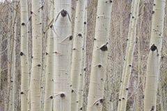 Лес дерева Aspen зимы Стоковое фото RF