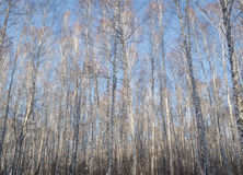Лес деревьев березы стоковые фото