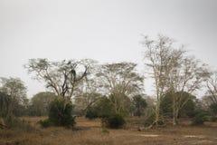 Лес деревьев лихорадки в национальном парке Gorongosa Стоковое Изображение RF