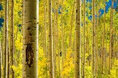 Лес деревьев Aspen Стоковая Фотография