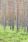 Лес лета с высокорослыми тонкими соснами Стоковая Фотография