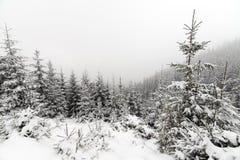 Лес елевого дерева туманный покрытый снегом в ландшафте зимы Стоковая Фотография RF