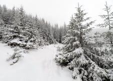Лес елевого дерева туманный покрытый снегом в ландшафте зимы Стоковые Фотографии RF
