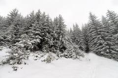 Лес елевого дерева туманный покрытый снегом в ландшафте зимы Стоковые Изображения RF