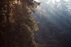 Лес елей Стоковое Изображение