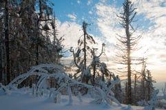 Лес ели зимы Стоковые Изображения