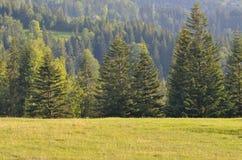 Лес ели Стоковое фото RF