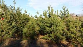 Лес ели стоковые изображения rf