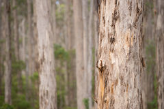 Лес западная Австралия дерева Karri Стоковое Изображение RF