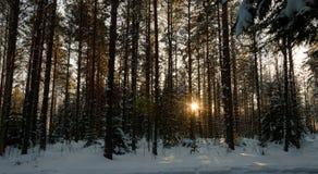 Лес захода солнца зимы Skandinavien Стоковое Изображение