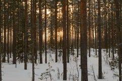 Лес захода солнца зимы Skandinavien Стоковое фото RF