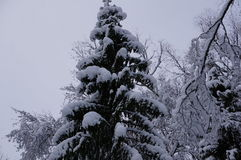 Лес зимы в Vologda Стоковое Фото
