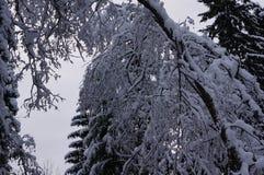 Лес зимы в Vologda Стоковые Изображения RF