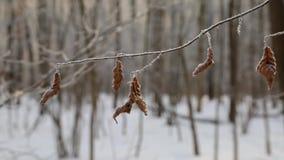 Лес зимы, снег падает, снег на видеоматериал