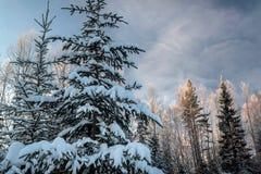 Лес зимы снежный под голубым небом Стоковые Изображения