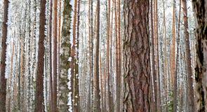 Лес зимы, сосна Стоковые Изображения
