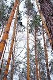 Лес зимы, сосна Стоковое Изображение RF