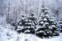 Лес зимы с покрытыми снег деревьями и снежностями Стоковое фото RF