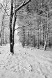 Лес зимы Стоковые Изображения