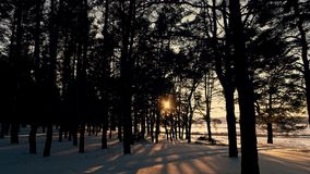 Лес зимы coniferous в солнце на заходе солнца акции видеоматериалы