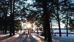 Лес зимы coniferous в солнце на заходе солнца сток-видео