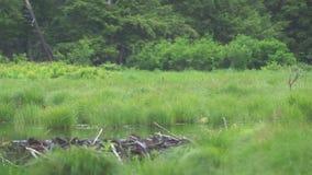 Лес злаковика и запруда бобра видеоматериал