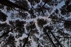 Лес имеет много высокорослую сосну Стоковая Фотография