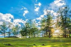 Лес лиственницы с солнечным светом Стоковые Фотографии RF