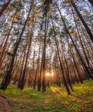 Лес и заход солнца Стоковое Фото