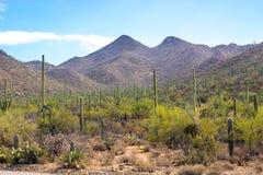 Лес кактуса в пустыне Аризоны Стоковое фото RF