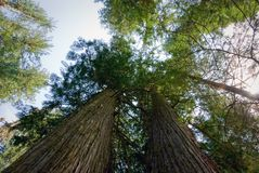 Лес кедра девственницы в северном Айдахо Стоковое фото RF