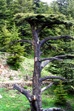 Лес кедра в Ливане Стоковое Изображение RF