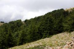 Лес кедра в Ливане Стоковая Фотография RF