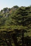 Лес кедра в Ливане Стоковая Фотография