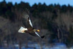 Лес красивое Steller& x27 flyingwith орла темный; орел моря s, pelagicus Haliaeetus, летящая птица добычи Стоковая Фотография
